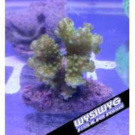 Pocillopora Green-Yellow Cultured