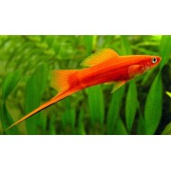 Assorted Swordtail