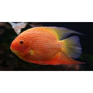 Severum Red