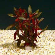 "Ludwigia Glandulosa ""Red"""