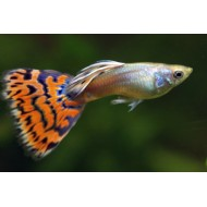 Assorted Guppies Male