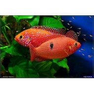 Blood Red jewel Fish